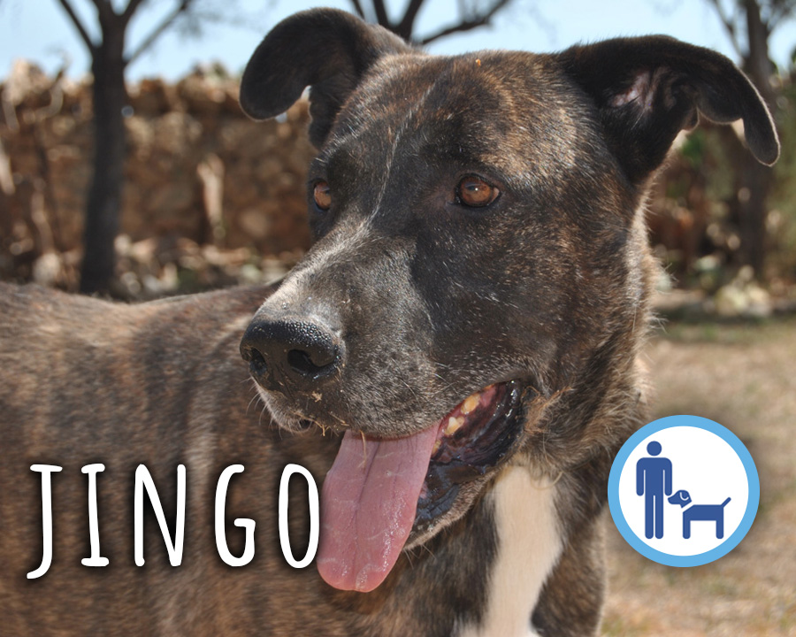 Jingo_profilo