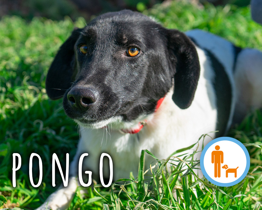 Pongo_profilo